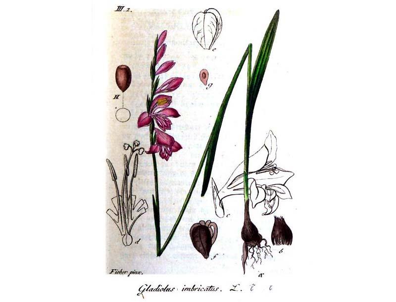 Gladiolus imbricatus par Jakob Sturm