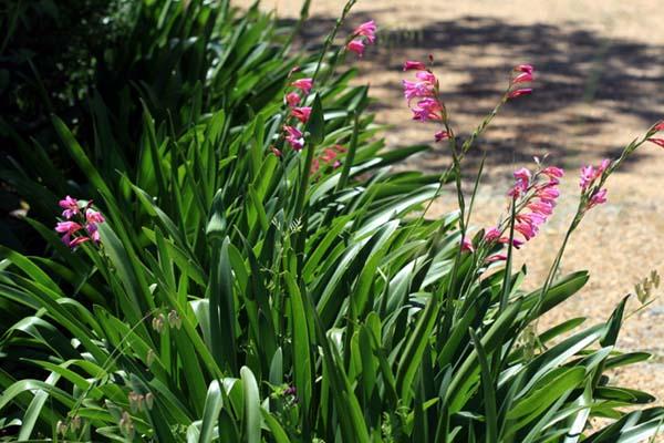 Wild Gladiolus Illyrische Siegwurz s