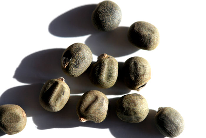 Graines gombo seeds