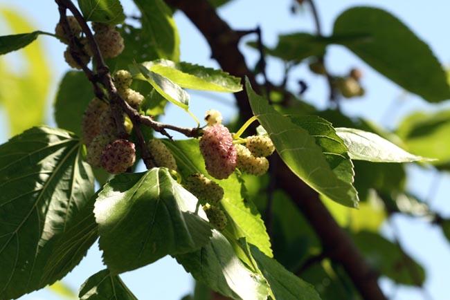 Mulberry  morus alba