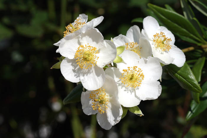 Carpenteria californica Tree anemone
