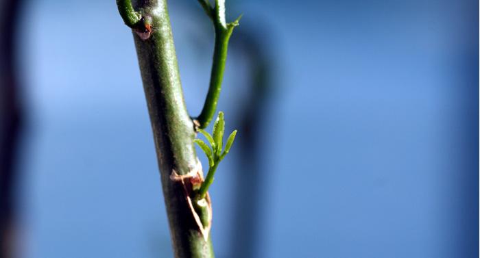 Grafting 接ぎ木 greffe Enxertia