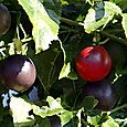 Red passion fruit edulis maracuja rouge