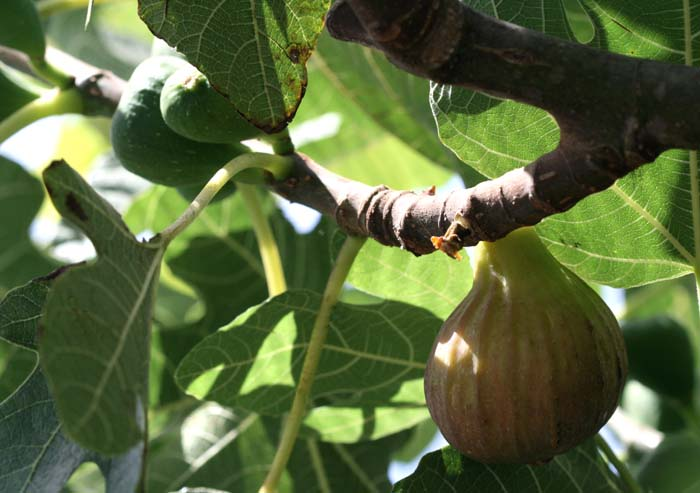 Breba fioroni early-ripe fig figue fleur hocory fichi fioroni