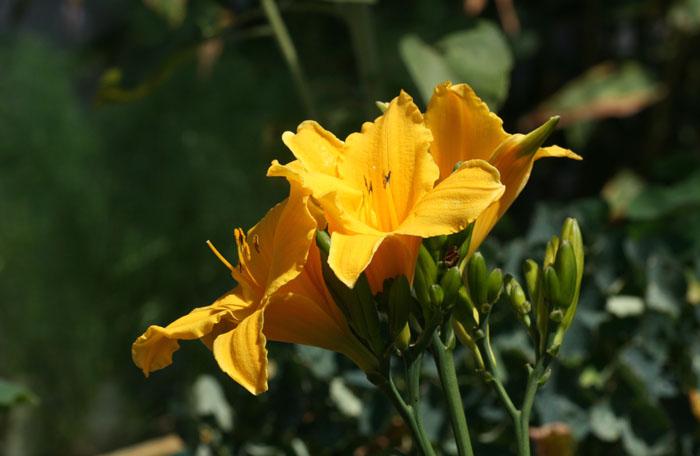 Lis de jour daylily yelow ワスレグサ属 Lis asphodèle