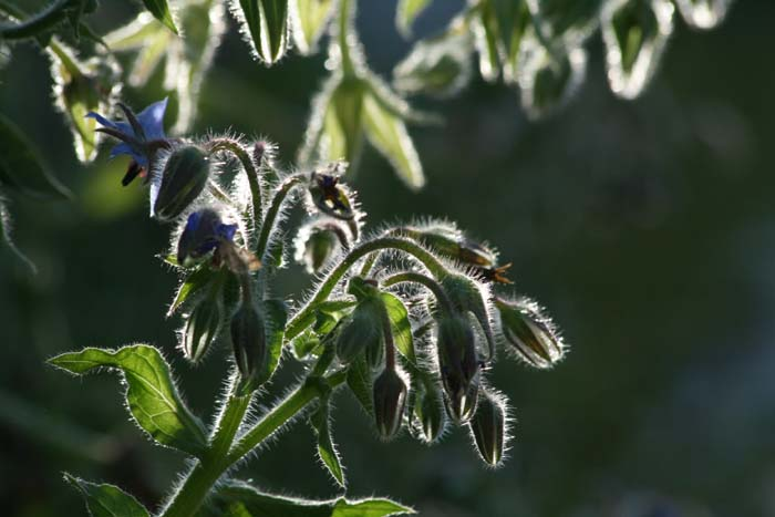 Borrage borage