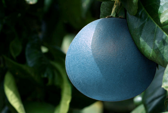 Blue grapefruit pamplemousse bleue