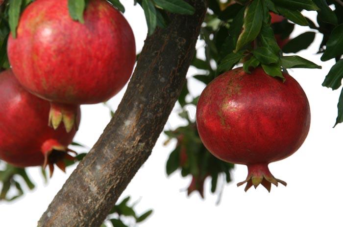 ザクロ Sa̍k-liù Melograno pomegranate grenade rouge