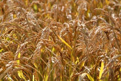 Arroz 米 riz Riso