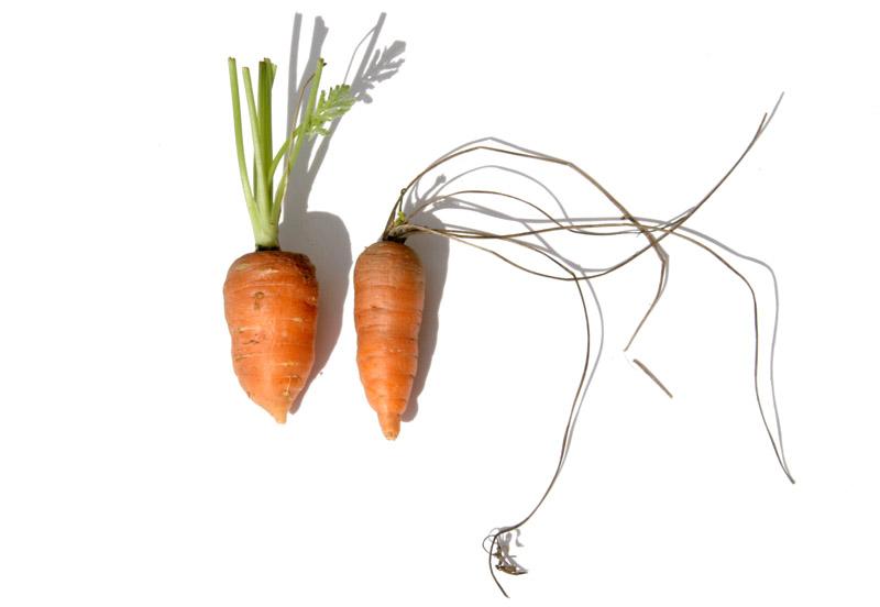 ニンジン carota cenoura