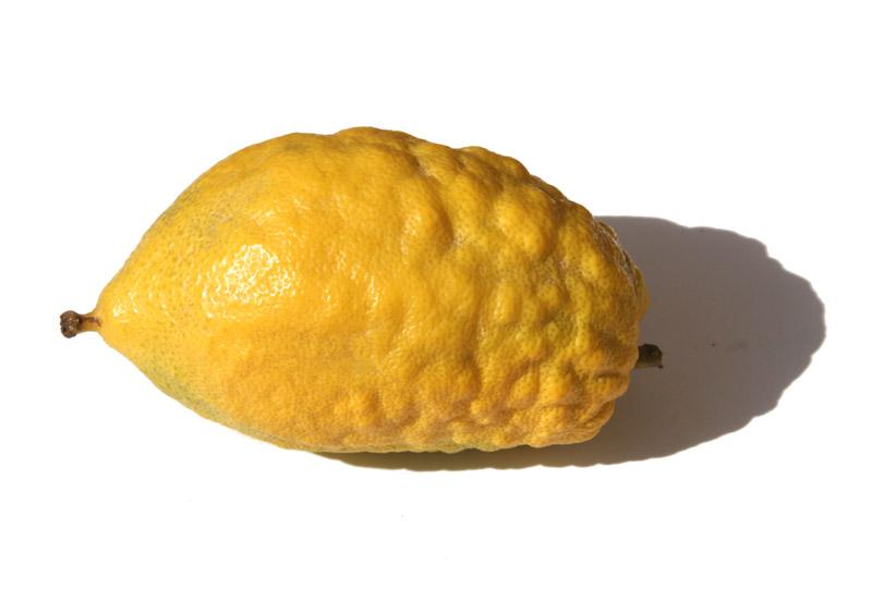Etrog Citrus medica Citron  Cédrat   Cedro   أترج  - シトロン