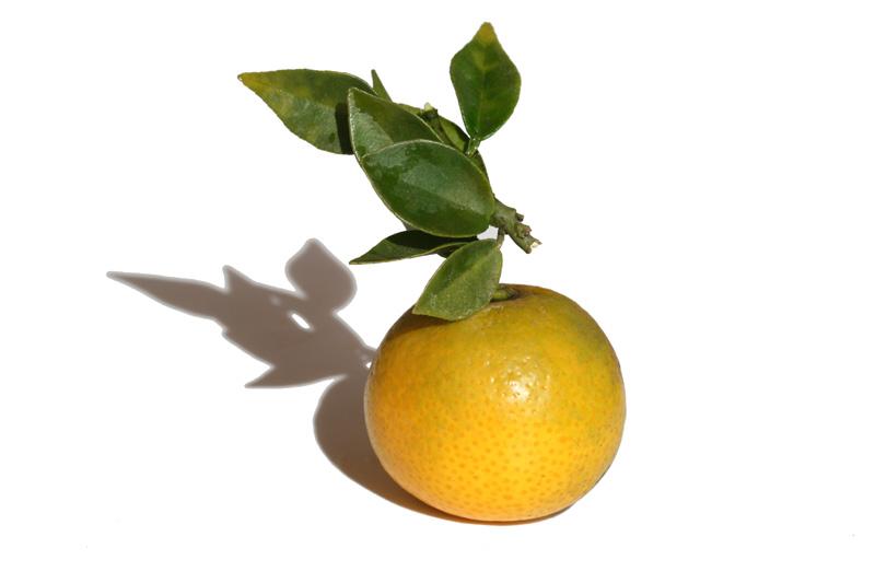 Chinotto orange amère à feuilles de myrte Citrus aurantium myrtifolia