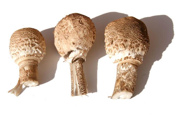 Coulemelle parasol mushroom lepiote elevée