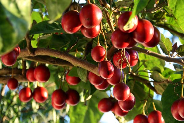Tomates en arbre  タマリロ tamarillo Tamarilho