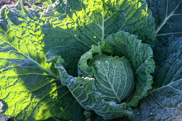 Chou milan Cabbage couve lombarda