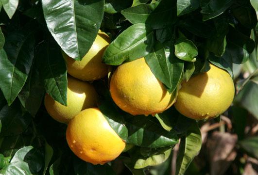 Grapefruit  كريفون pomelo グレープフルーツ