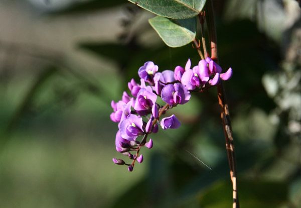 False Sarsaparilla Purple Coral Pea Happy Wanderer Native Lilac Waraburra