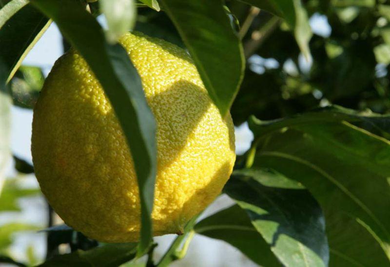 برغموت ترنج bergamot orange ベルガモット