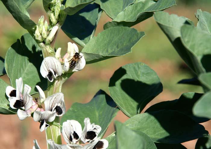 Broad bean abeille sur une fève