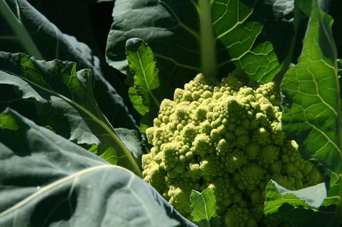 Romanesco brocoli