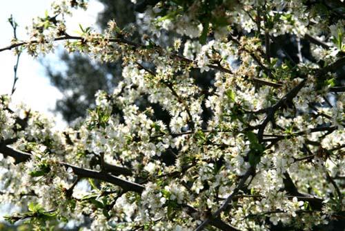 Chery blossom cerisier en fleur