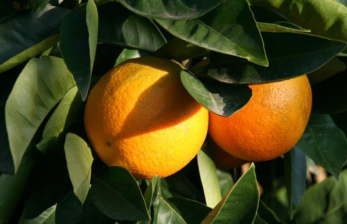 Orange blonde Maltaise de Tunisie
