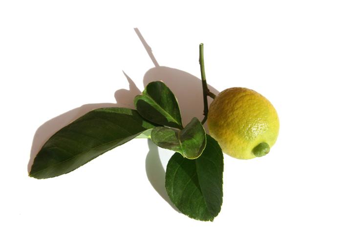 Citrus limettioides lime de Palestine