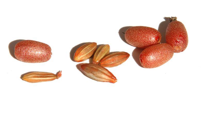 Russian Olive Ebbinge's Silverberry eleagnus