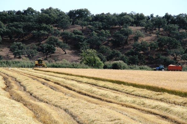 Récolte du riz en Alentejo