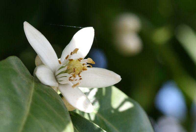 Orange blossom  Azahares flor de azahar