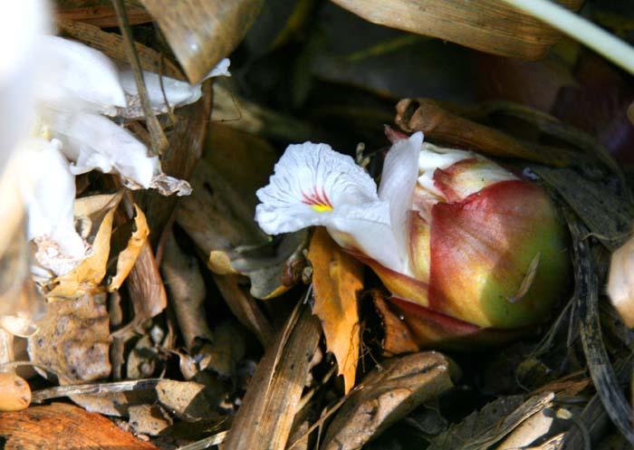 Cardamom blossom カルダモン
