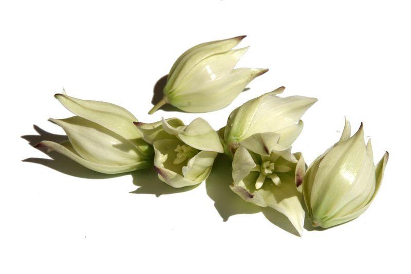 Palm lily bossom