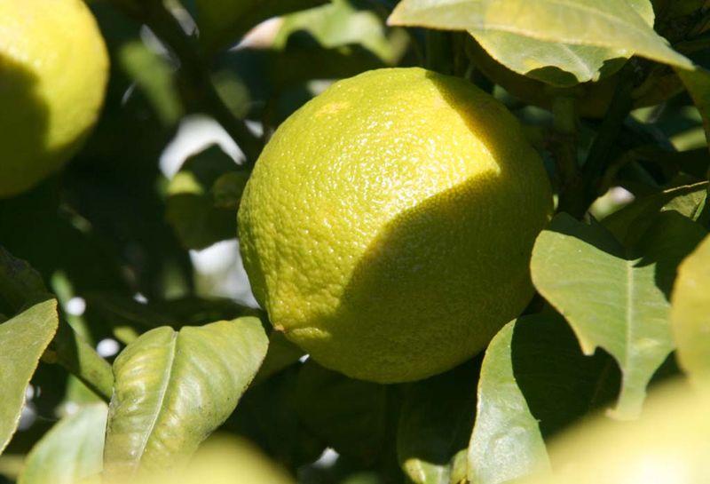 Bergamot bergamote bergamota
