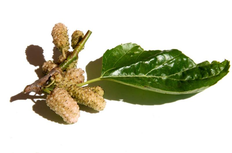 White mulberries शहतूत  mures blanches
