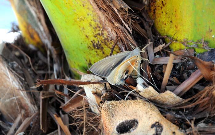 Paysandisia archon ponte femelle