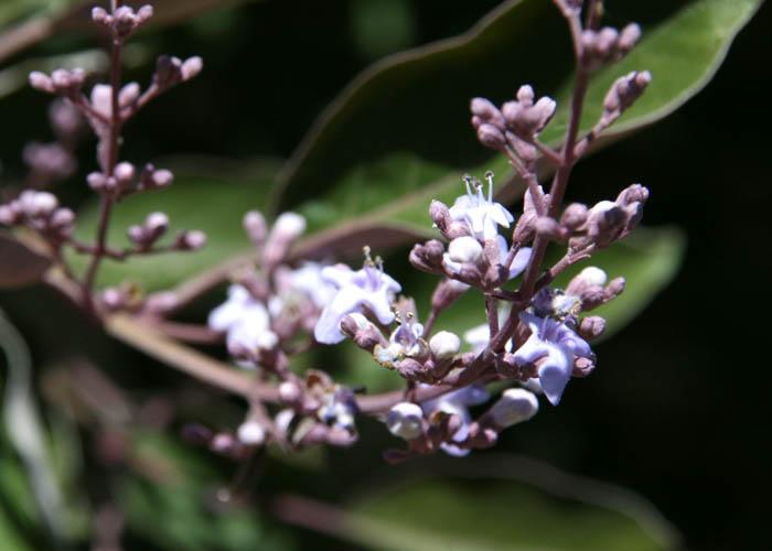Vitex trifolia purpurea blossom fleurs