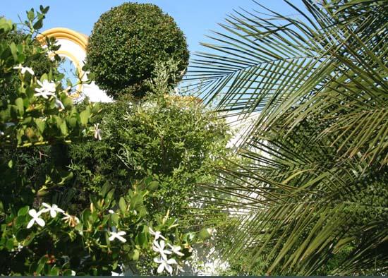 Aloysia gratissima in the middle