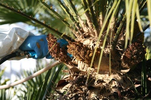 Biopalm chamaerops 2