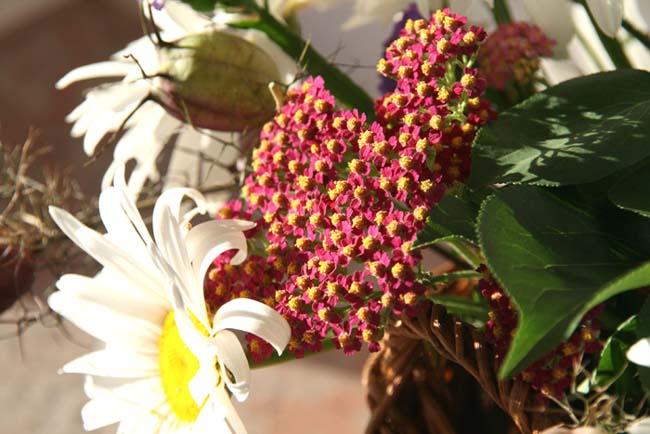 Emachillea millefoliumem achillée millefeuille