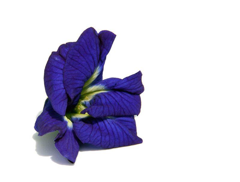 Butterfly pea, blue pea vine