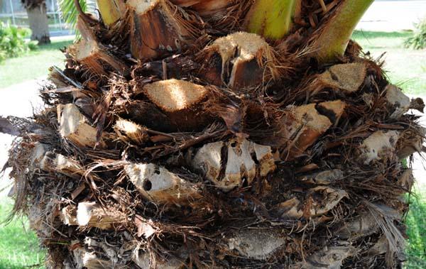 Aysandisia archon perforation sur Phoenix Can