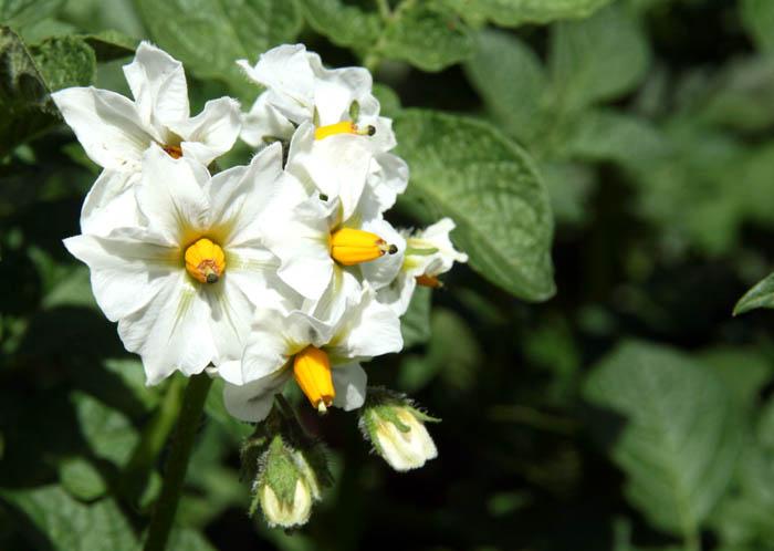 Potato blossom fleur de pomme de terre