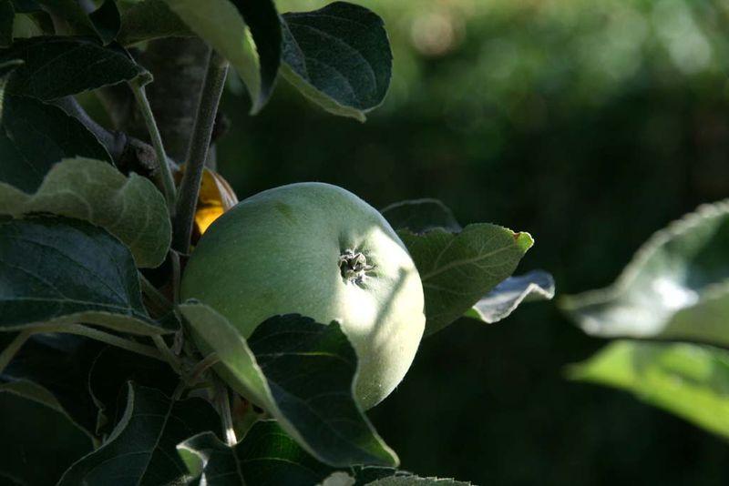 Apple pomme  maça Ontario