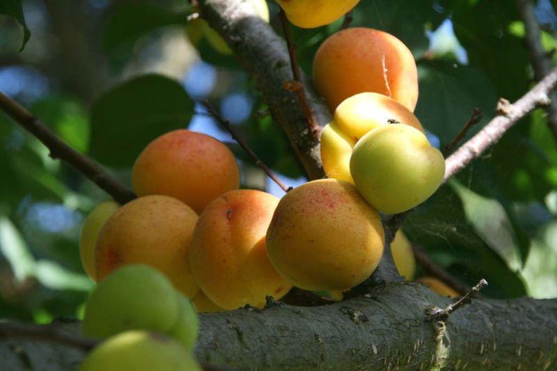 Apricot مشمش  Alperces