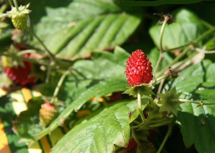 Fragaria vesca fraise des bois