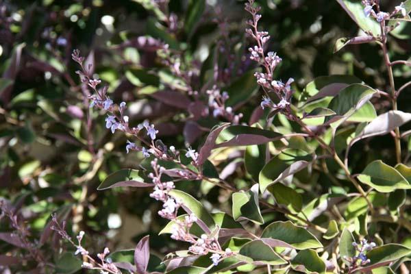 Vitex trifolia purpurea lilas arabie pourpre