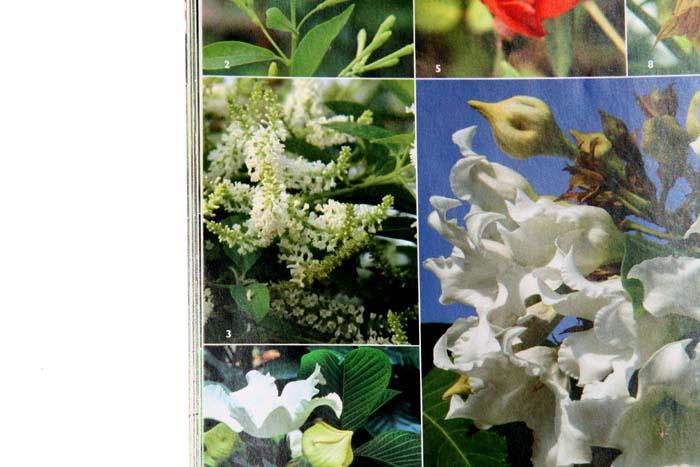 Buddleja scented Beauty