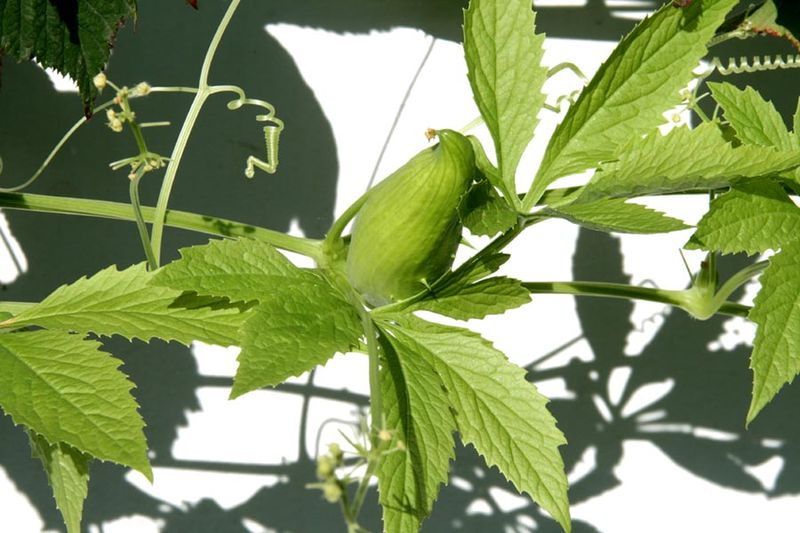Cyclanthera pedata fleur male, fruit, vrilles