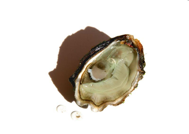 محار  oyster