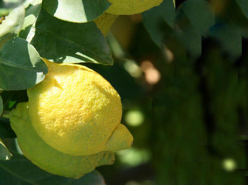 Lemons  citrons
